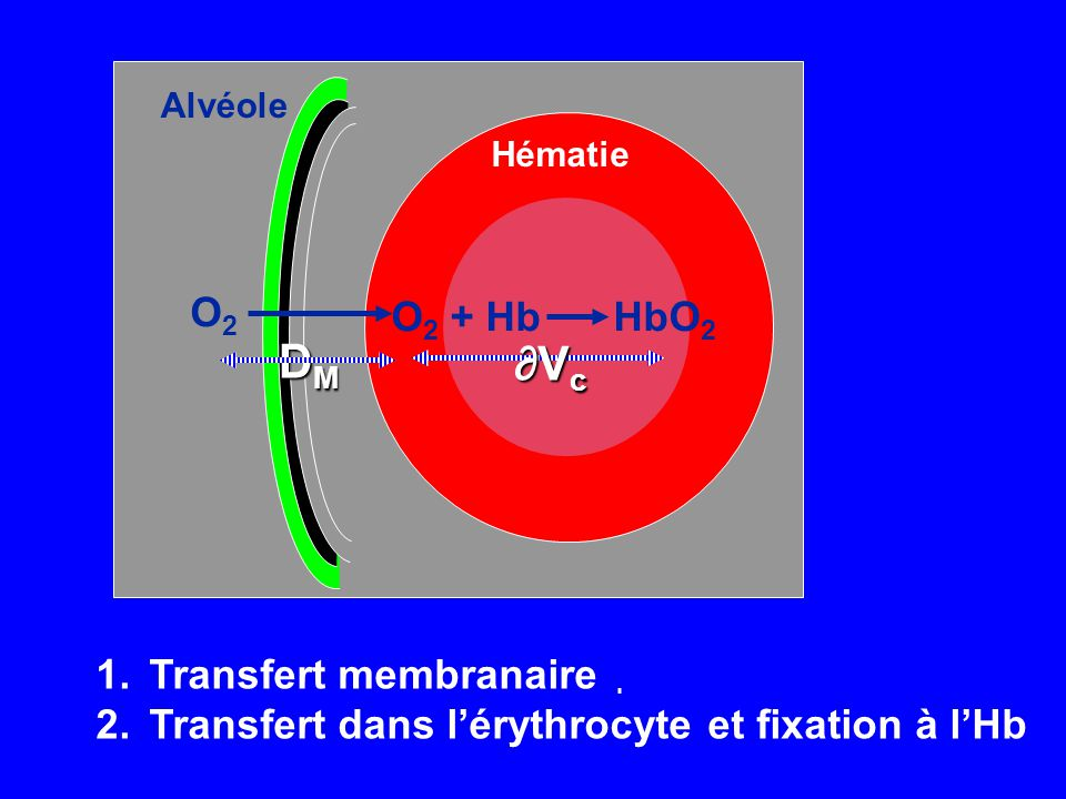 DM ∂Vc O2 + Hb HbO2 O2 Transfert membranaire