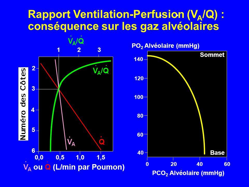 Rapport Ventilation-Perfusion (VA/Q) :