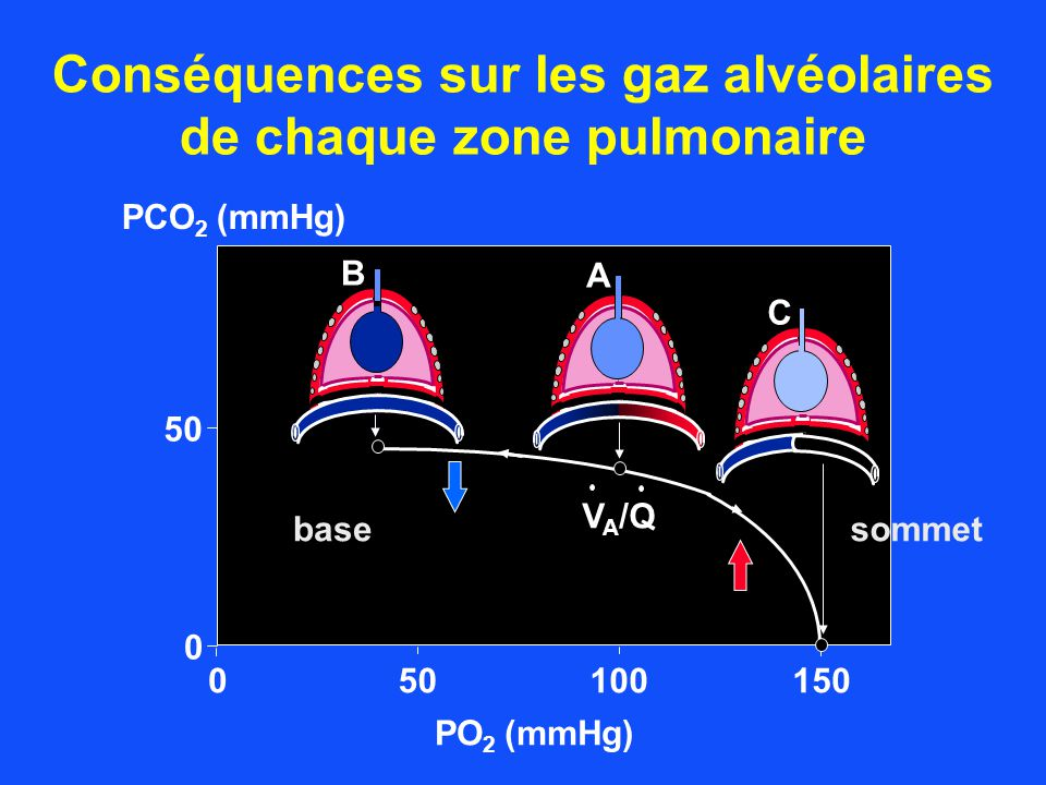 Conséquences sur les gaz alvéolaires de chaque zone pulmonaire