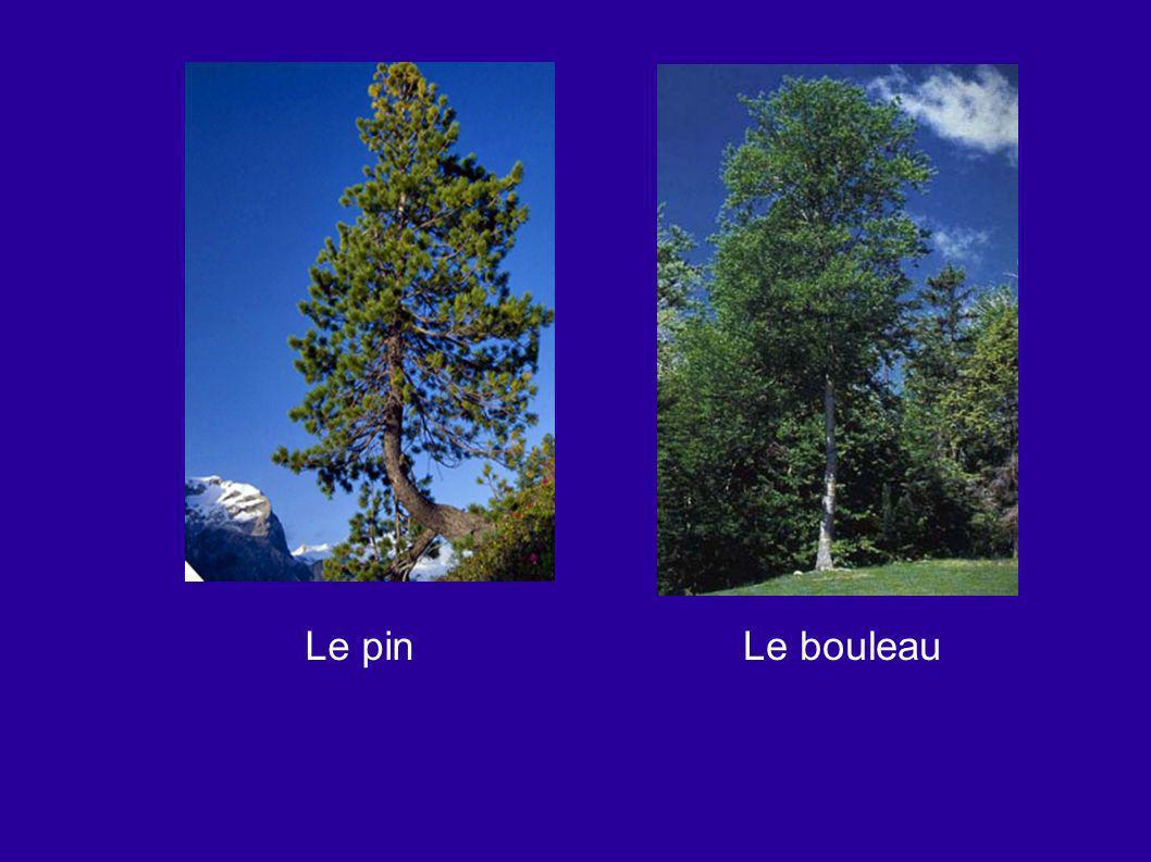 Le pin Le bouleau