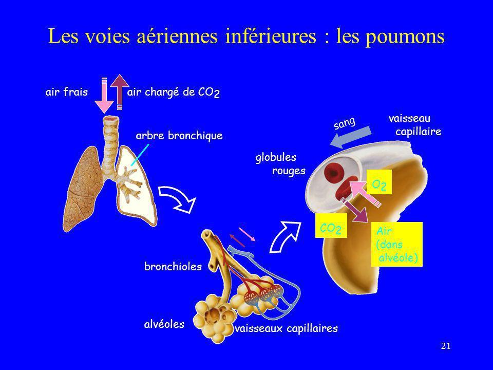 Les voies aériennes inférieures : les poumons