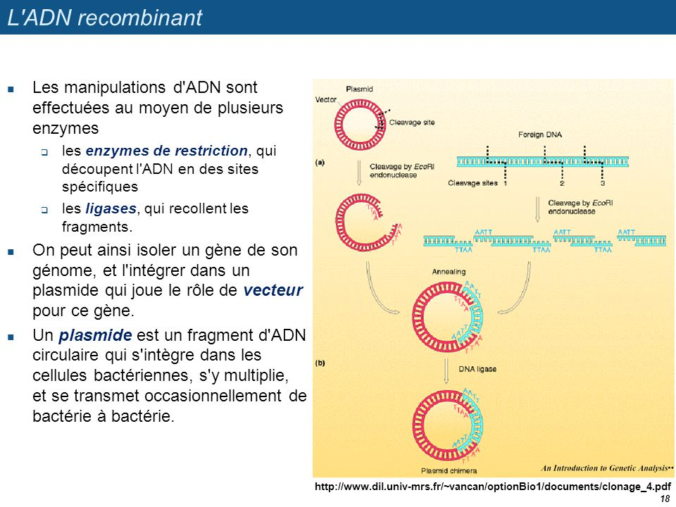L ADN recombinant Les manipulations d ADN sont effectuées au moyen de plusieurs enzymes.
