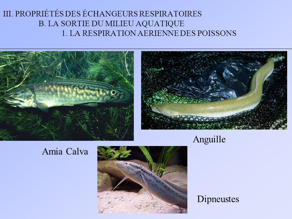 Anguille Amia Calva Dipneustes