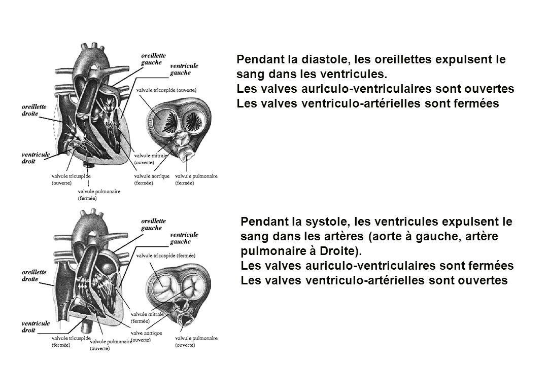 Pendant la diastole, les oreillettes expulsent le sang dans les ventricules.