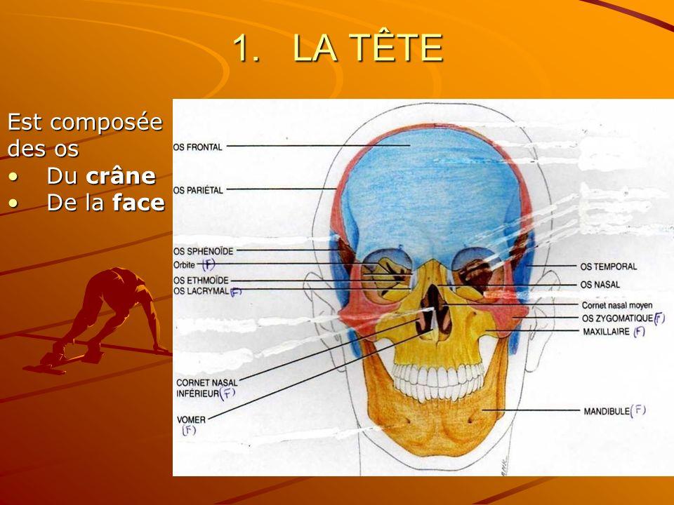 LA TÊTE Est composée des os Du crâne De la face