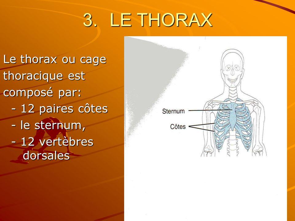 LE THORAX Le thorax ou cage thoracique est composé par: