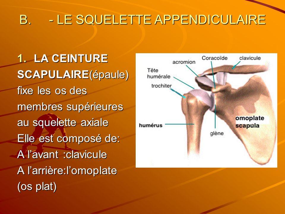 - LE SQUELETTE APPENDICULAIRE
