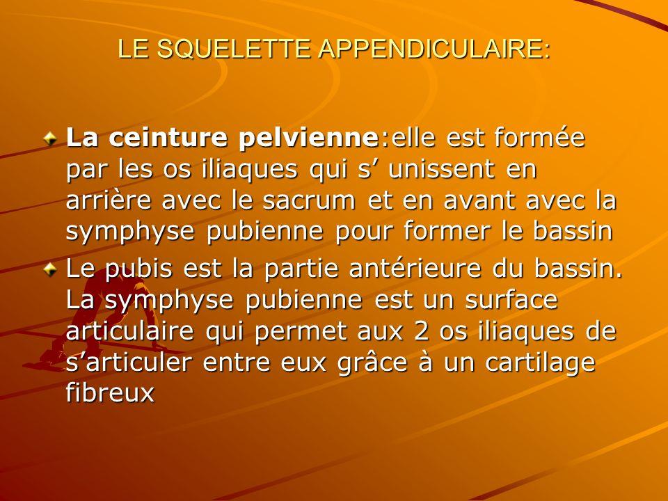 LE SQUELETTE APPENDICULAIRE:
