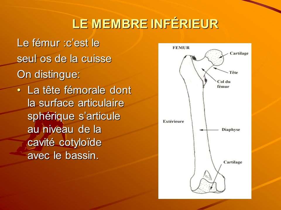 LE MEMBRE INFÉRIEUR Le fémur :c'est le seul os de la cuisse