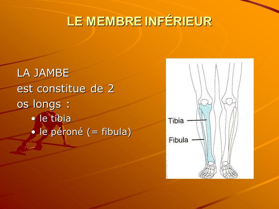 LE MEMBRE INFÉRIEUR LA JAMBE est constitue de 2 os longs : le tibia