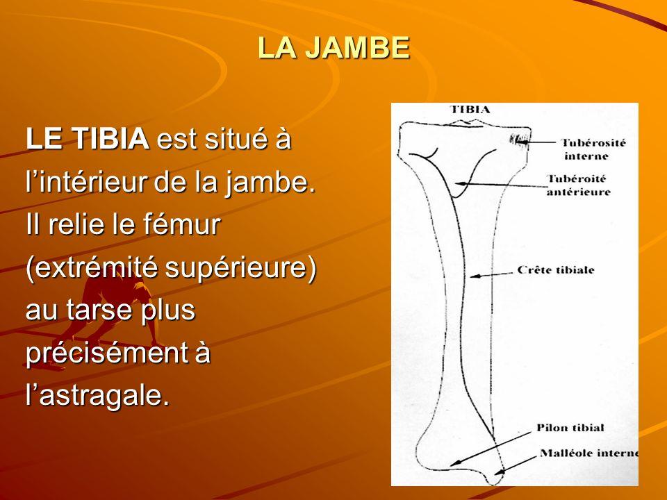 l'intérieur de la jambe. Il relie le fémur (extrémité supérieure)