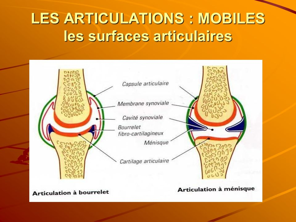 LES ARTICULATIONS : MOBILES les surfaces articulaires