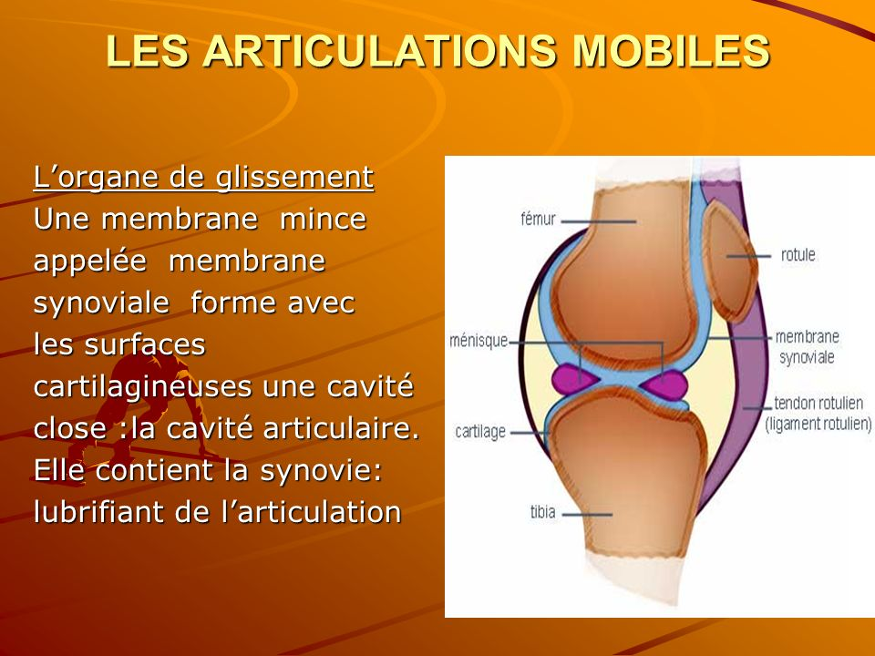 LES ARTICULATIONS MOBILES