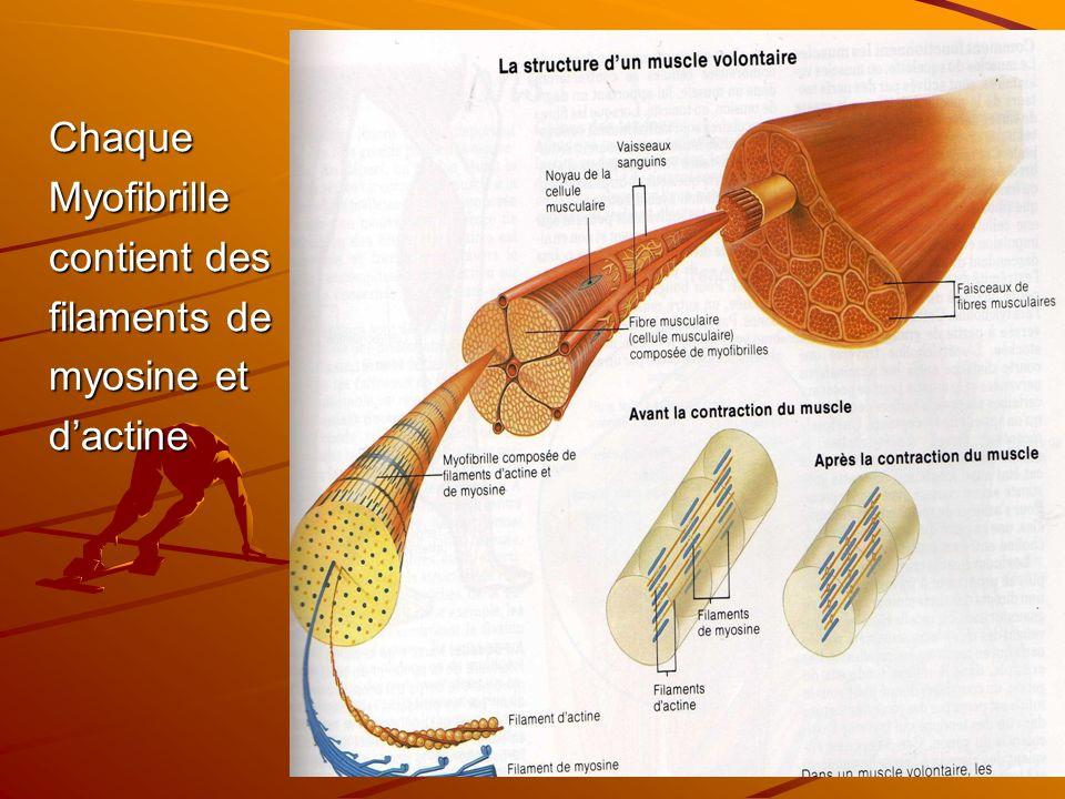 Chaque Myofibrille contient des filaments de myosine et d'actine
