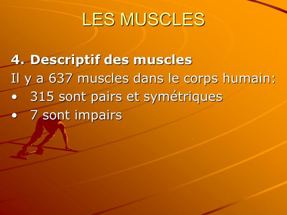 LES MUSCLES Descriptif des muscles