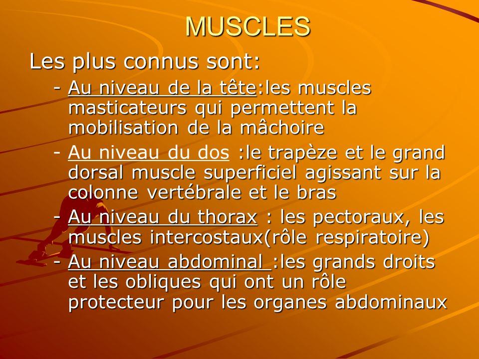 MUSCLES Les plus connus sont: