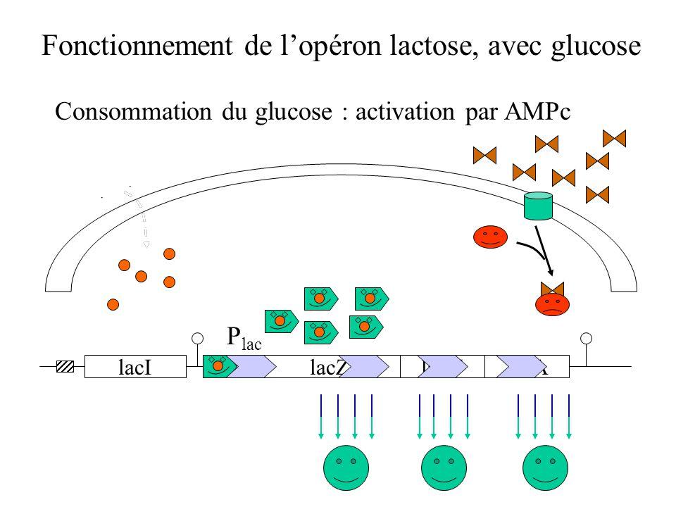 Fonctionnement de l'opéron lactose, avec glucose