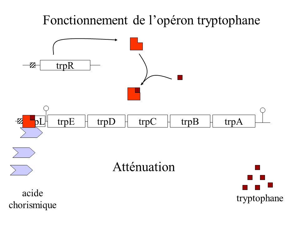 Fonctionnement de l'opéron tryptophane