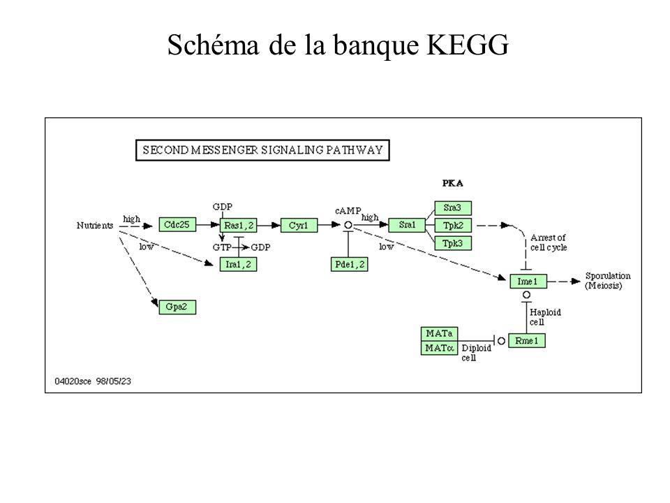 Schéma de la banque KEGG