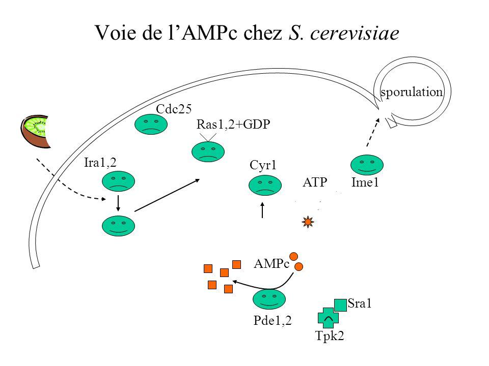 Voie de l'AMPc chez S. cerevisiae