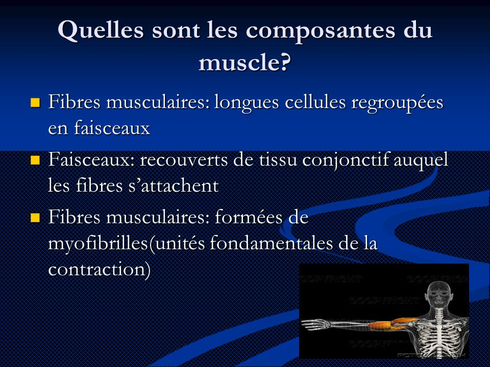 Quelles sont les composantes du muscle
