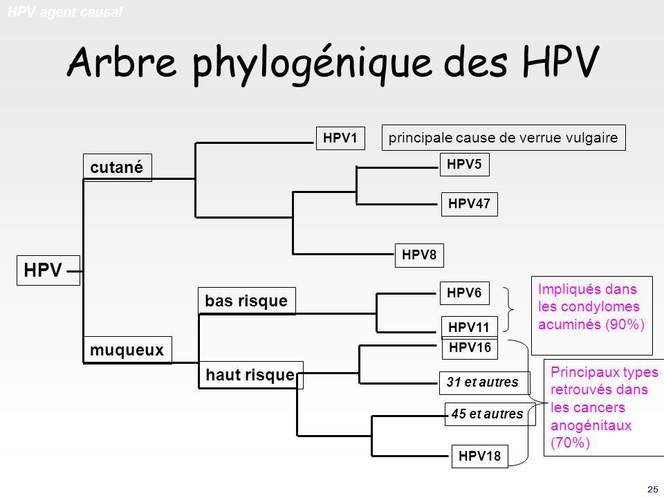 Arbre phylogénique des HPV
