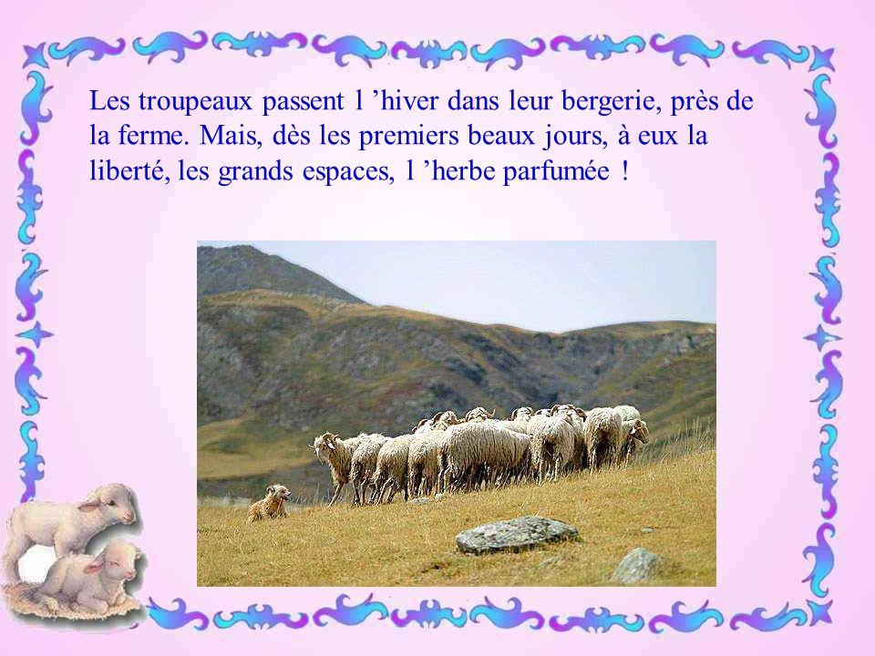 Les troupeaux passent l 'hiver dans leur bergerie, près de