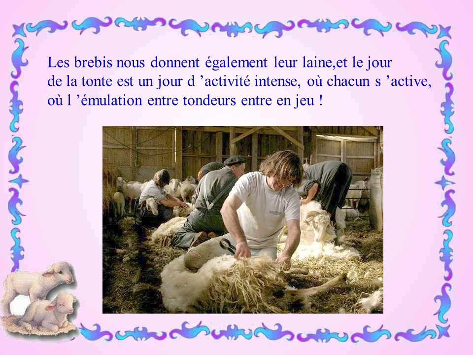 Les brebis nous donnent également leur laine,et le jour