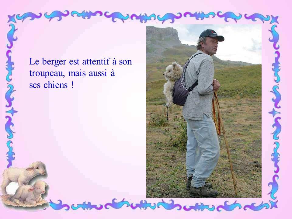 Le berger est attentif à son