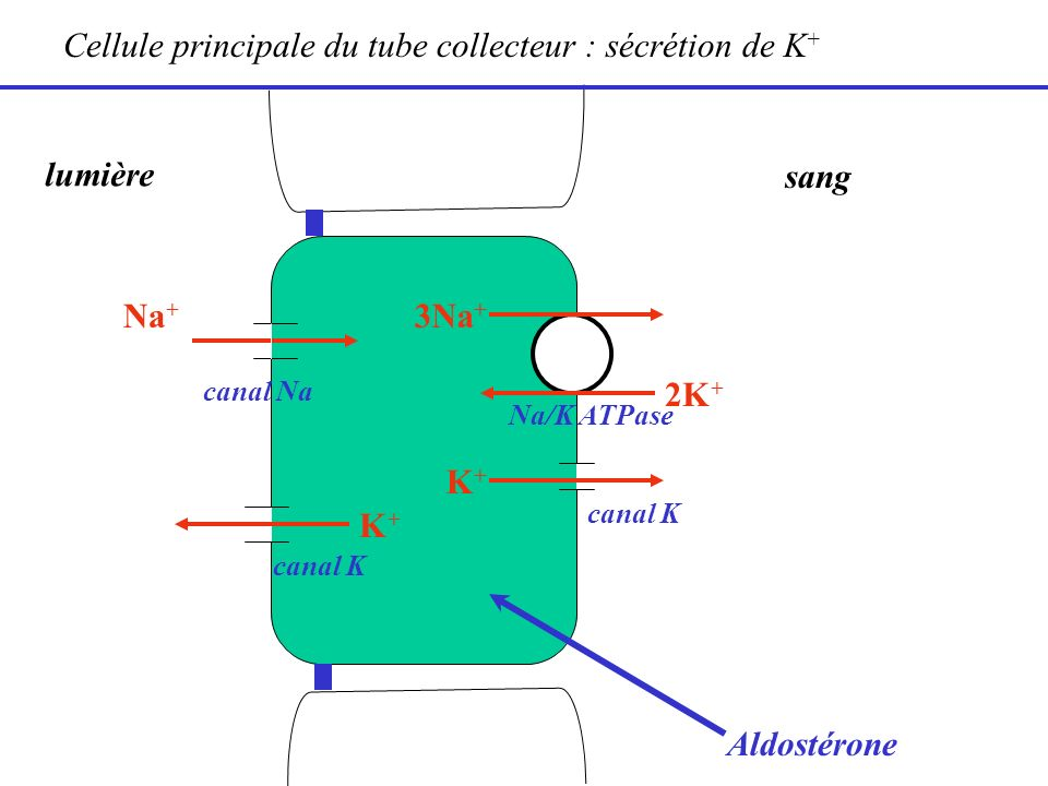 Cellule principale du tube collecteur : sécrétion de K+