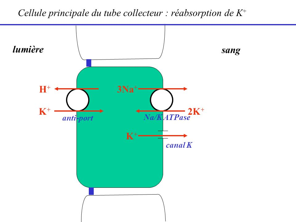 Cellule principale du tube collecteur : réabsorption de K+