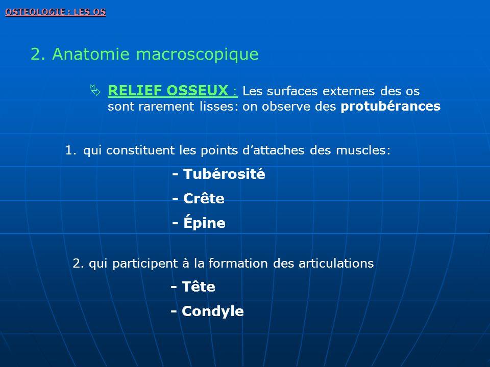 2. Anatomie macroscopique