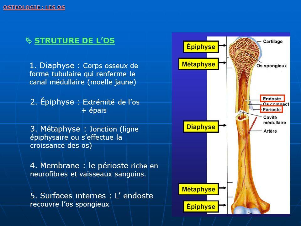 2. Épiphyse : Extrémité de l'os + épais