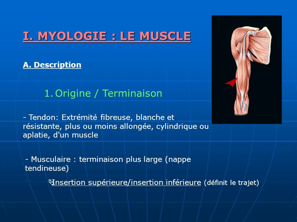 I. MYOLOGIE : LE MUSCLE Origine / Terminaison A. Description