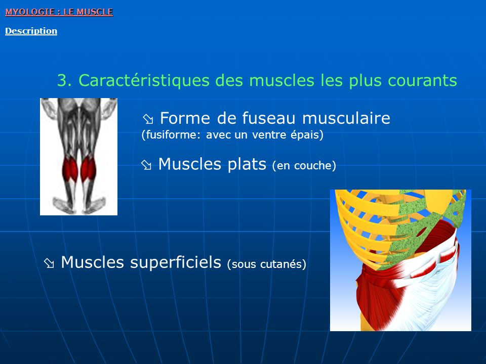3. Caractéristiques des muscles les plus courants