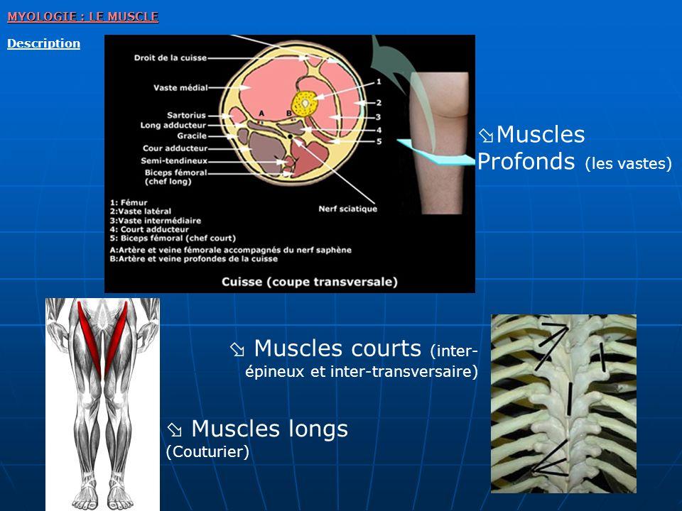 Muscles Profonds (les vastes)