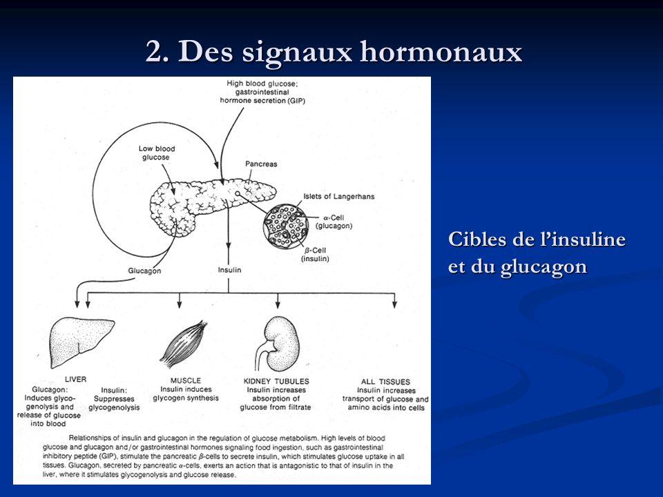 2. Des signaux hormonaux Cibles de l'insuline et du glucagon