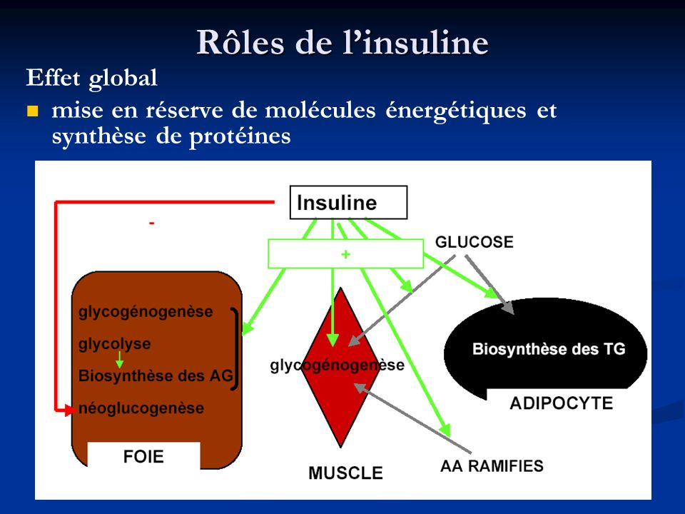 Rôles de l'insuline Effet global