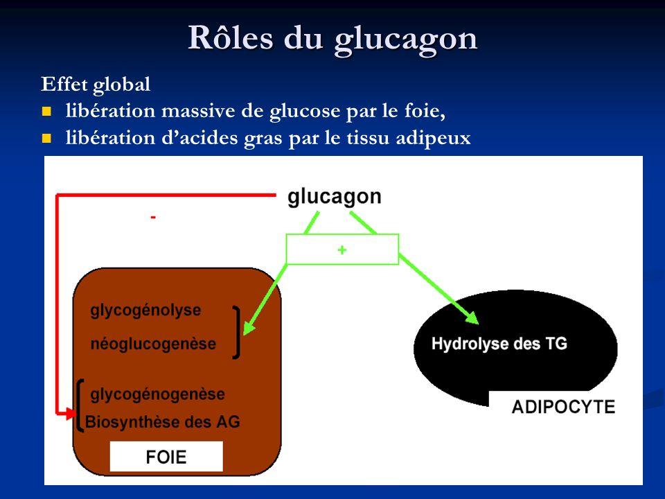 Rôles du glucagon Effet global