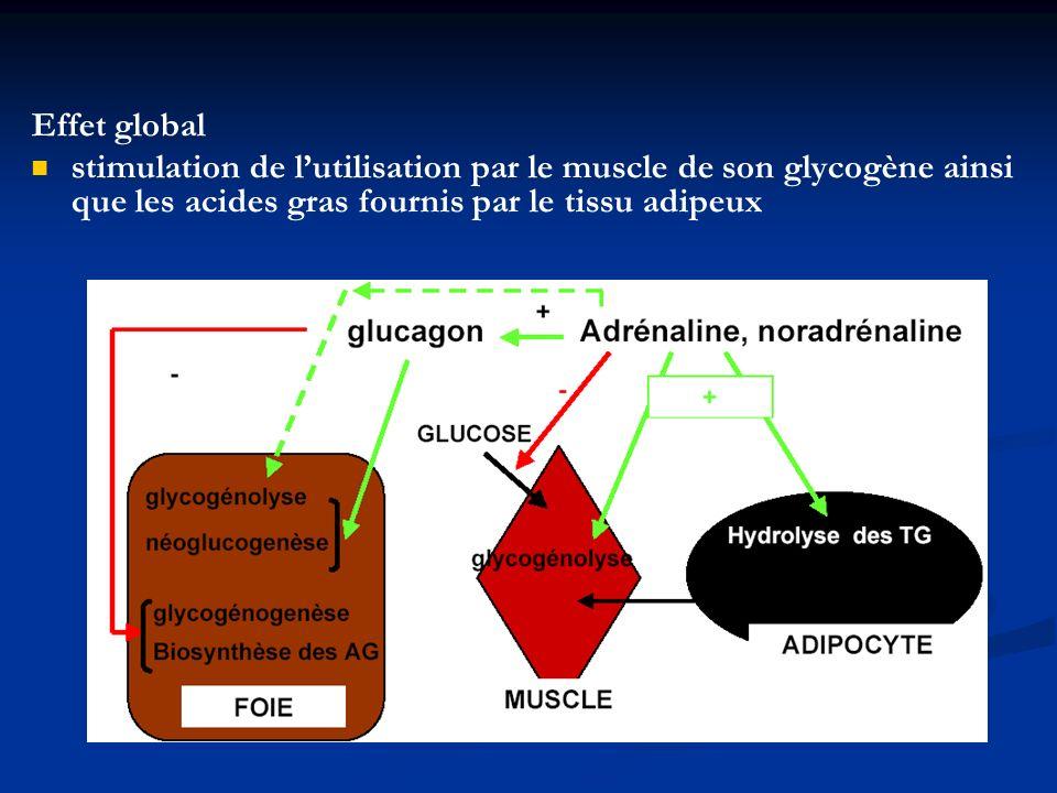 Effet global stimulation de l'utilisation par le muscle de son glycogène ainsi que les acides gras fournis par le tissu adipeux.