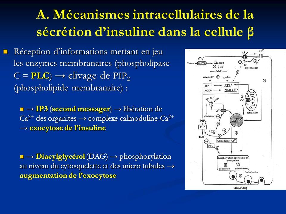 A. Mécanismes intracellulaires de la sécrétion d'insuline dans la cellule β