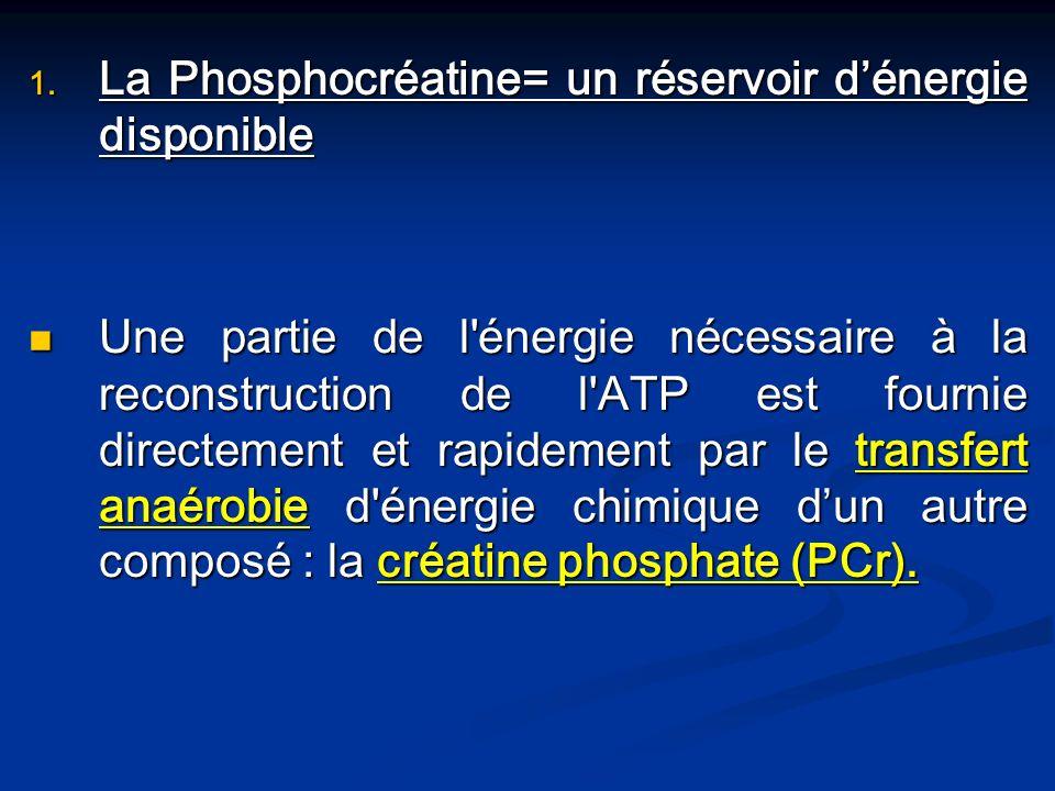 La Phosphocréatine= un réservoir d'énergie disponible