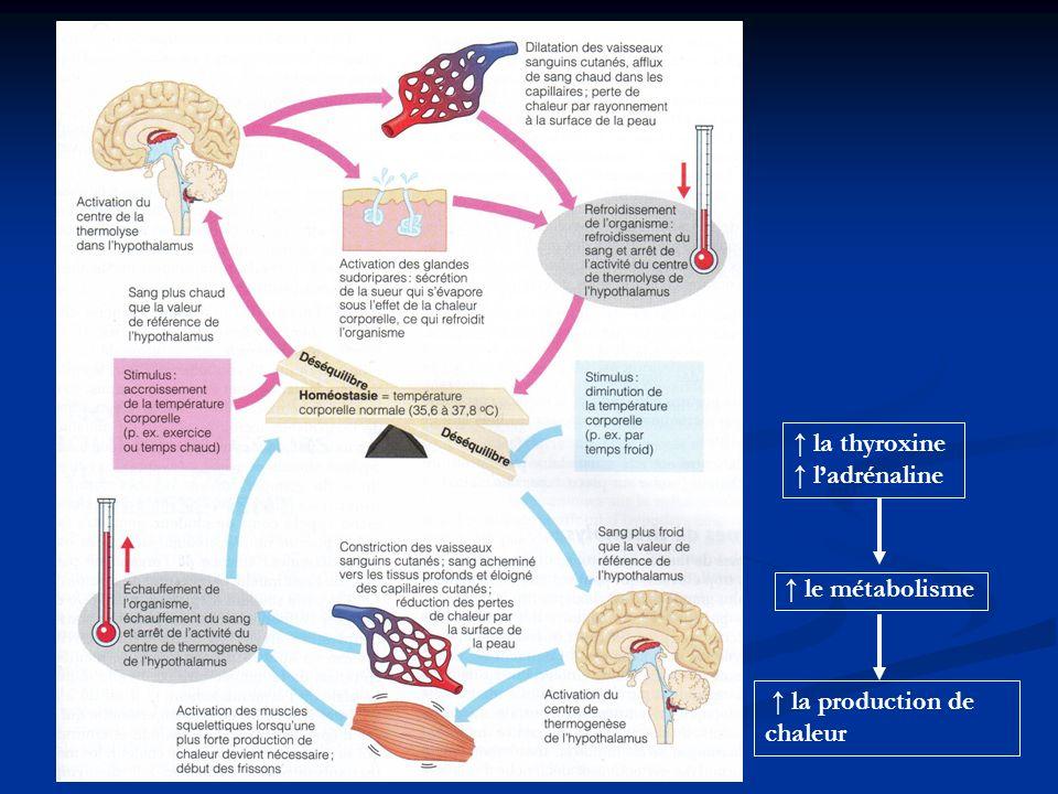 ↑ la thyroxine ↑ l'adrénaline ↑ le métabolisme ↑ la production de chaleur