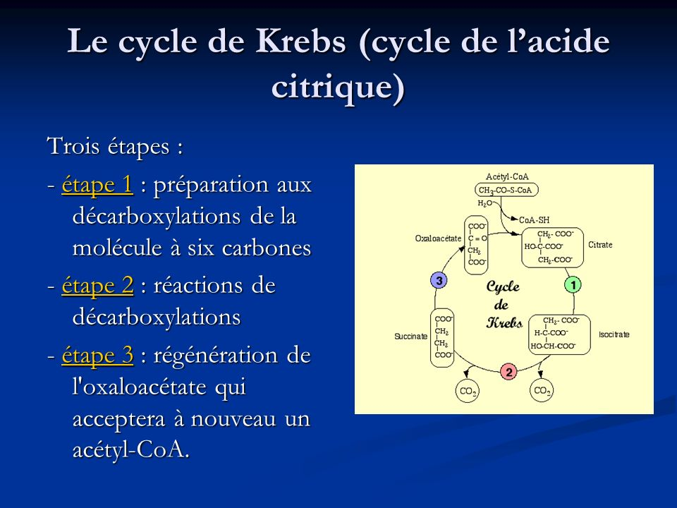 Le cycle de Krebs (cycle de l'acide citrique)