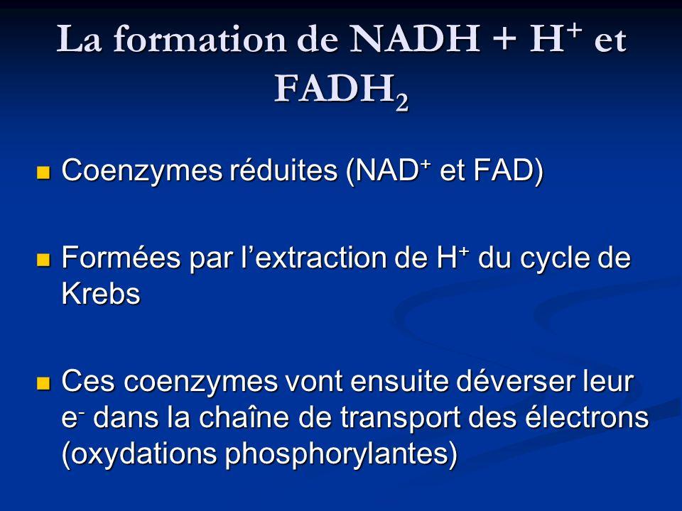 La formation de NADH + H+ et FADH2