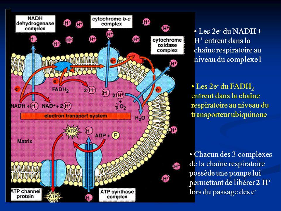 Les 2e- du NADH + H+ entrent dans la chaîne respiratoire au niveau du complexe I