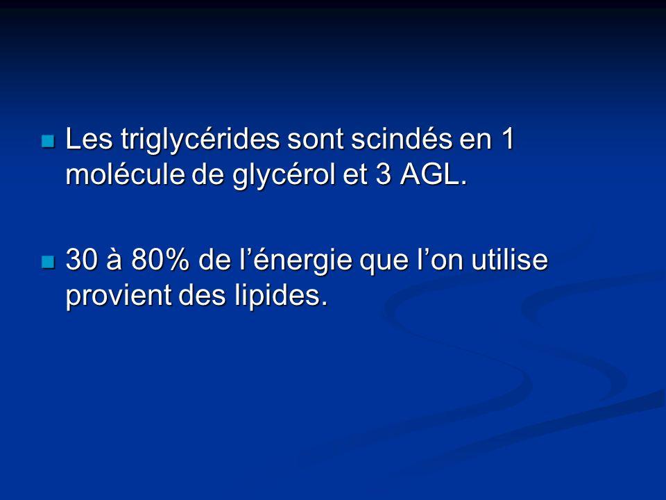 Les triglycérides sont scindés en 1 molécule de glycérol et 3 AGL.