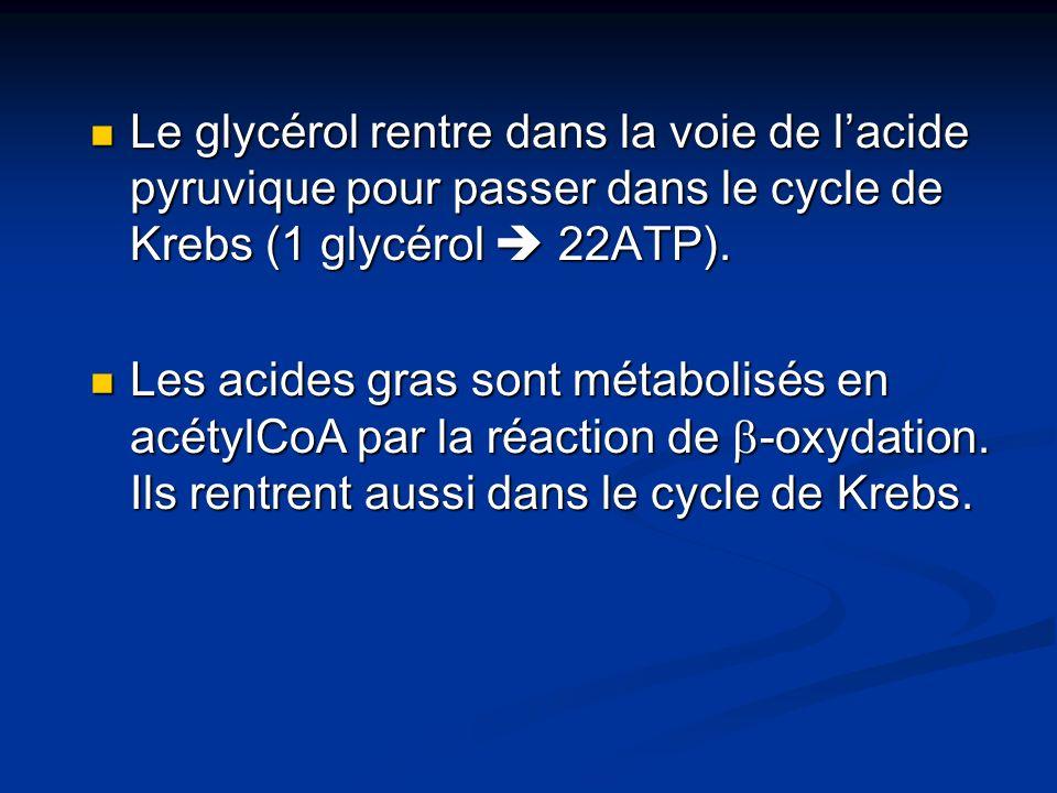 Le glycérol rentre dans la voie de l'acide pyruvique pour passer dans le cycle de Krebs (1 glycérol  22ATP).