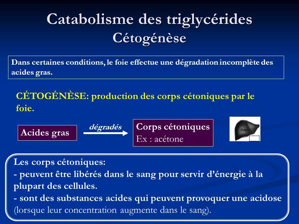 Catabolisme des triglycérides Cétogénèse