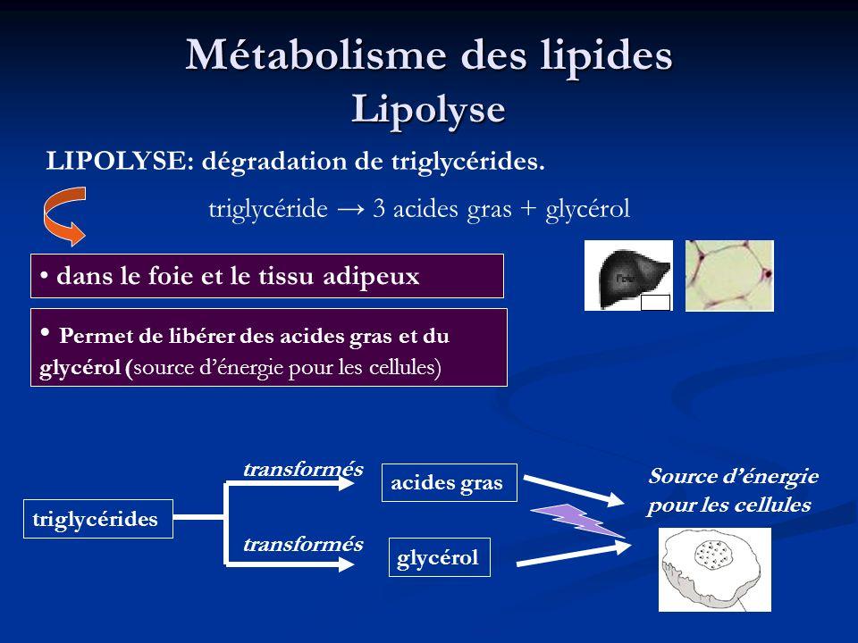 Métabolisme des lipides Lipolyse